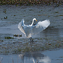 Egret Landing by Whiskeyman in Member Albums