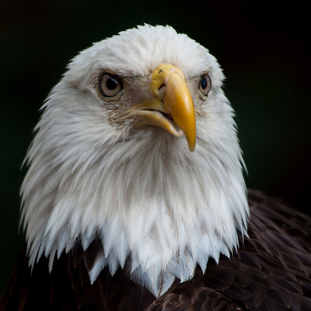 Bald Eagle - 1 by Whiskeyman in Member Albums