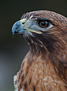 Red-Tailed Hawk by Whiskeyman in Member Albums