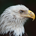 Bald Eagle - 3 by Whiskeyman in Member Albums