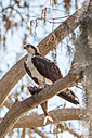 Circle B Bar - Osprey with Catch 1 by Whiskeyman in Member Albums