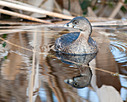 Circle B Bar - Pied-Billed Grebe by Whiskeyman in Member Albums