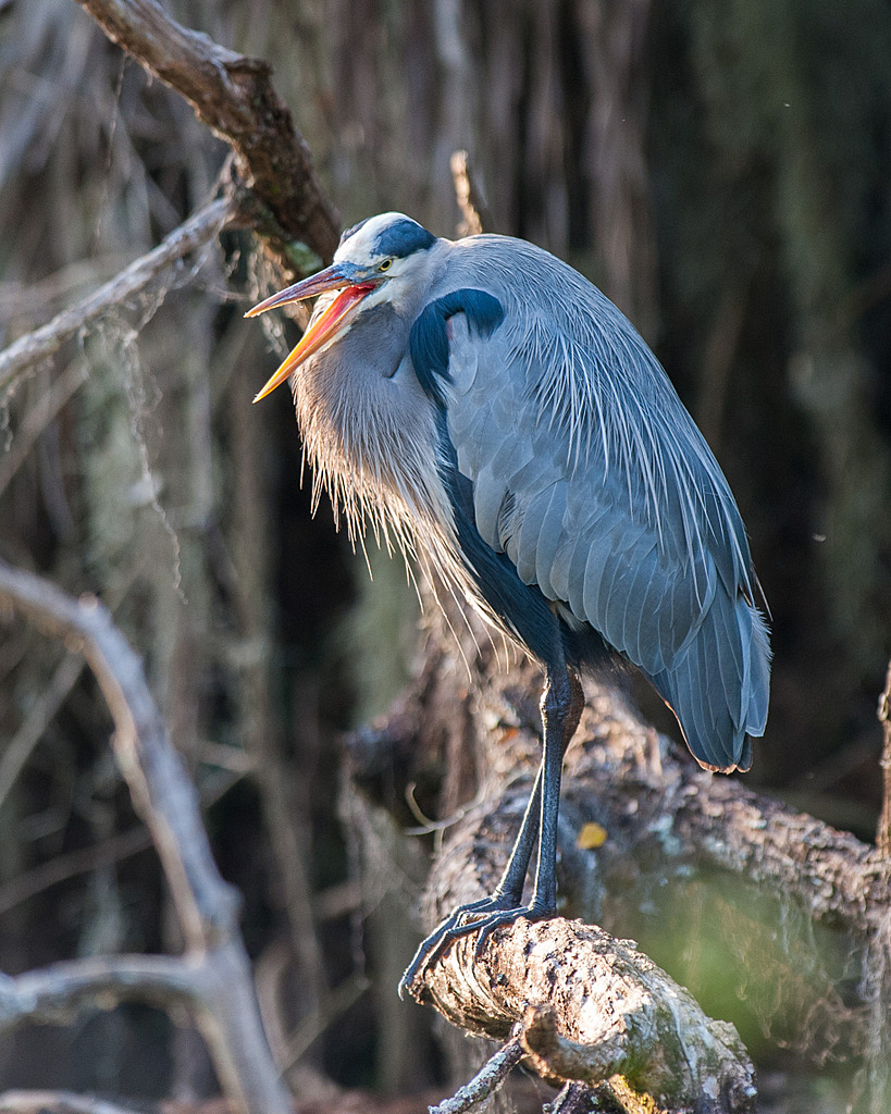 Circle B Bar - Perched Heron by Whiskeyman in Member Albums