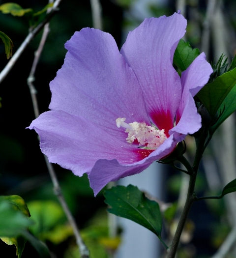 Rose of Sharon 1 by Whiskeyman in Member Albums