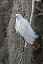 Circle B Bar - Perched Snowy Egret 1 by Whiskeyman in Member Albums
