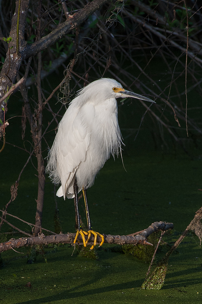 Circle B Bar - Perched Snowy Egret 2 by Whiskeyman in Member Albums