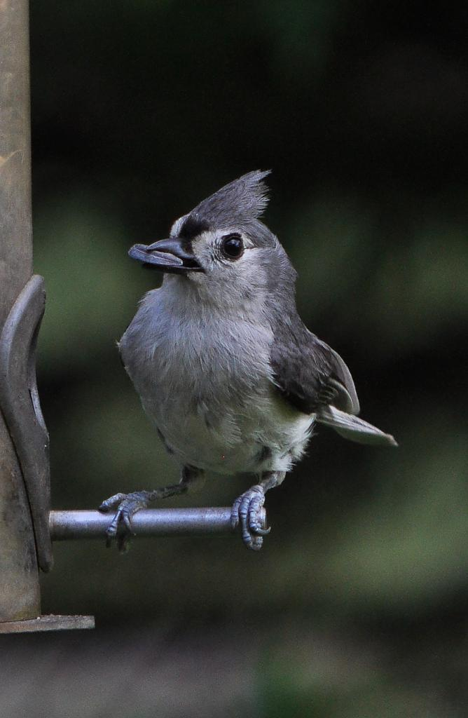 Tufted Titmouse 4 by Whiskeyman in Member Albums