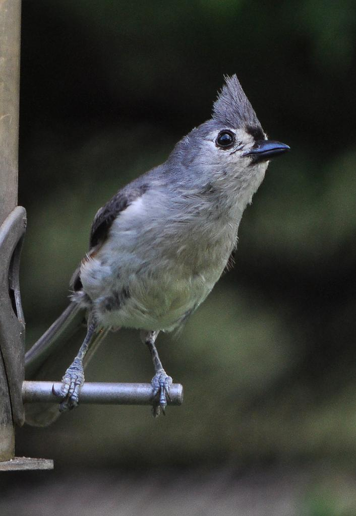 Tufted Titmouse 2 by Whiskeyman in Member Albums