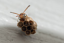 Paper Wasp by Whiskeyman in Member Albums