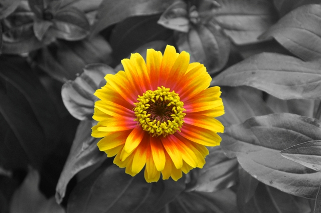 Zinnia by Whiskeyman in Member Albums