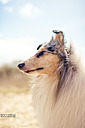 collie dog by wud in Member Albums