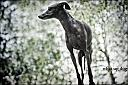 Italien Greyhound by wud in Member Albums