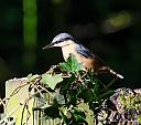 Nuthatch by mikew in Member Albums