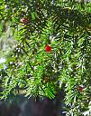 Yew tree by mikew in Mixed bag