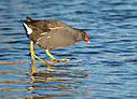 Waterhen by mikew in mikew 2015