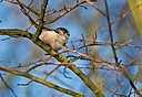 Longtail Tit by mikew in mikew 2015