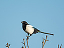 Magpie by mikew in mikew 2015