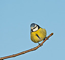 Blue Tit by mikew in mikew 2015