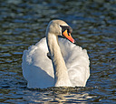 Swan by mikew in mikew 2015