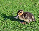 Mallard Chick by mikew in mikew D500 September 2017