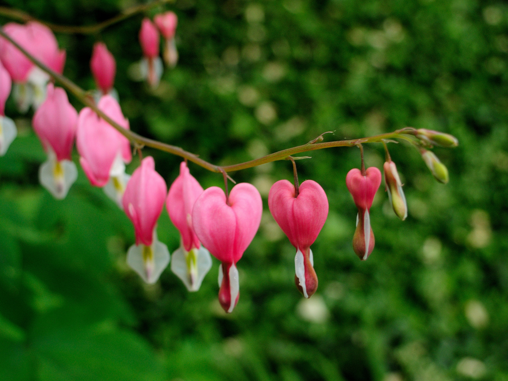 Bleeding Hearts by williamcrane in Member Albums