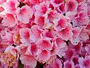 pink cluster by williamcrane in Member Albums