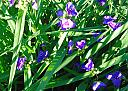 spiderwort by williamcrane in Member Albums