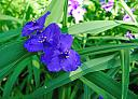 spiderwort tradescantia virginiana by williamcrane in Member Albums