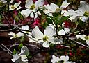 Dogwood Blossoms 2013 by Lakeside Annie in Member Albums