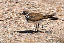 Mother Killdeer by pipeliner in Wildlife and Nature