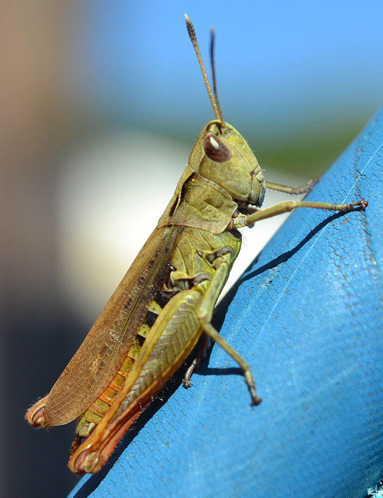 Grasshopper by WeeHector in Member Albums