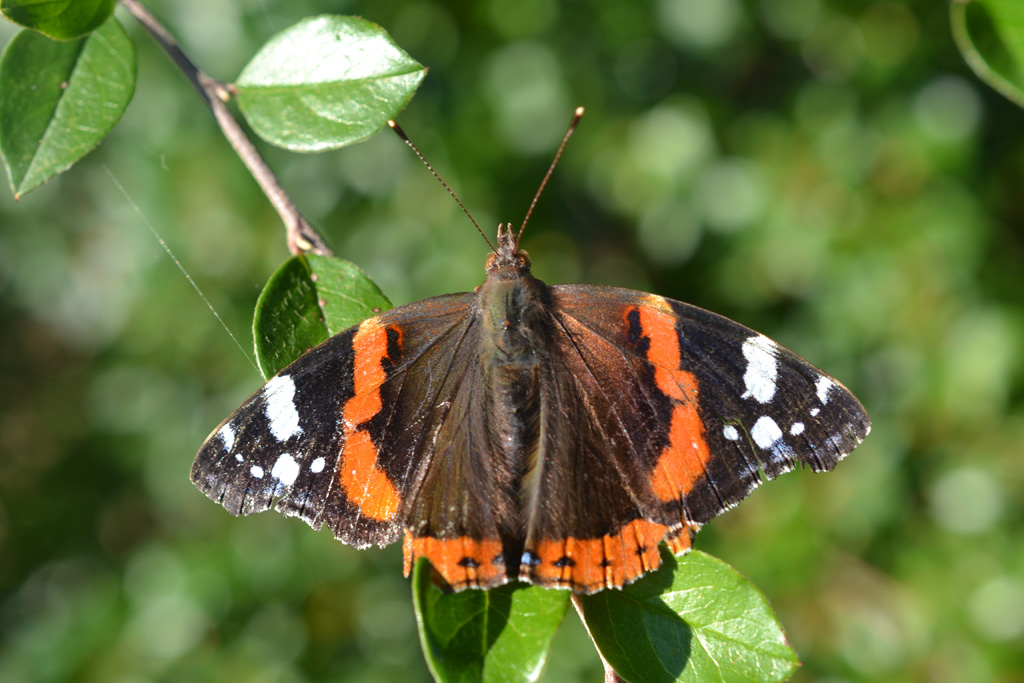 Red Admiral by WeeHector in Member Albums