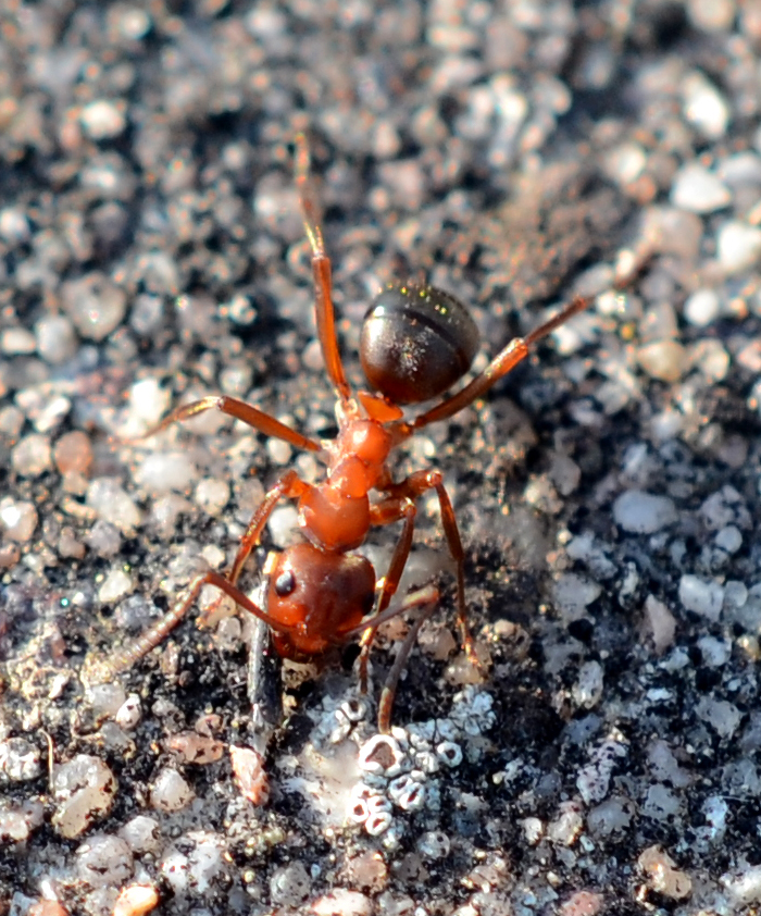 Red Ant by WeeHector in Member Albums