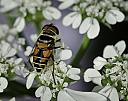 bee and white flowers by caroleann1947 in Member Albums