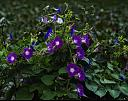 morning glory by caroleann1947 in Member Albums