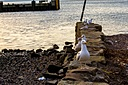 Seagulls Looking for a meal by andyfaelarky