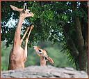 Blackbuck female and fawn  by Twinpop1 in Member Albums