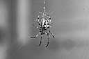 B&W Spider by Bill16 in Member Albums