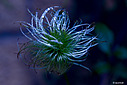Clematis Finale by wornish in Member Albums