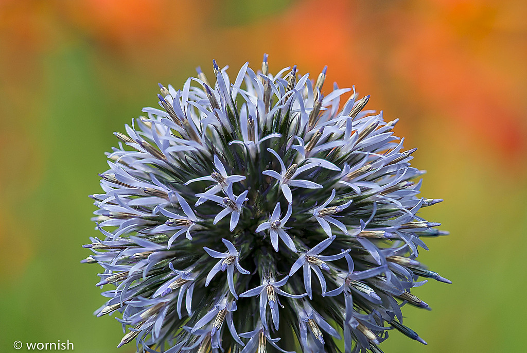 Thistle by wornish in Member Albums