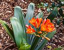 Orange Clivia by brads in Member Albums