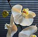 Phalaenopsis Orchid by brads in Member Albums