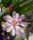 Magnolia Stellata by brads in Member Albums