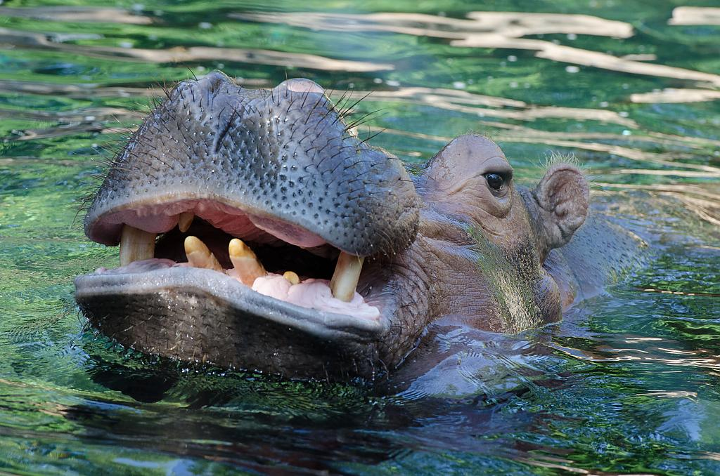 Hungry Hippo by singlerosa in Member Albums