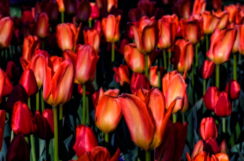 Tulips by singlerosa in Member Albums