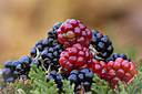 Harvest Berries by Vincent in Member Albums
