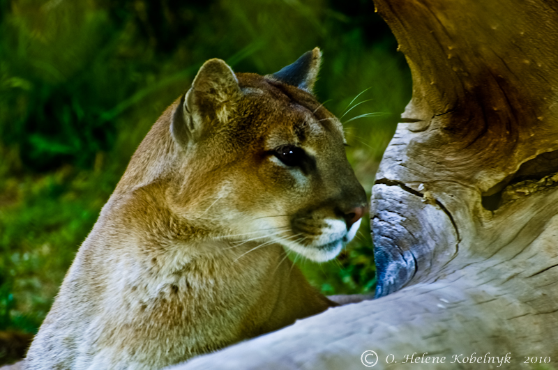 Eager Cougar by ohkphoto in Member Albums
