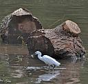 Little Egret Fishing by kibbsnk in Member Albums