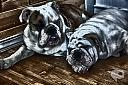 Oli rue and Casstill of SSEnglishBulldogs by ravenblu1 in Weekly Photo Challenges