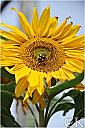 bee on a sunflower by Curt in Member Albums